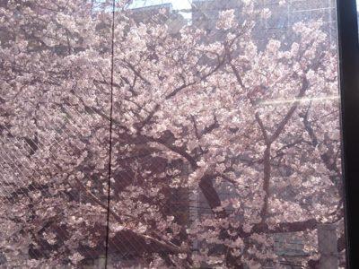 桜がきれいです***